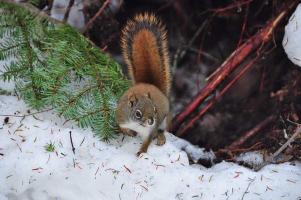 Georges l'écureuil